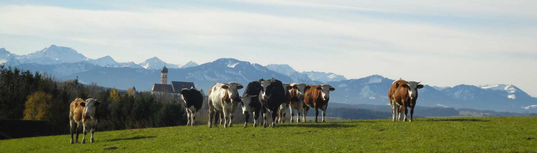 Das liebe Rindvieh